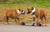 Rosie telling Brutus what a good skateboarder he is (Yer Photo Xpression) Tags: dog pet bulldog skateboard oldenglishbulldog canonef35350mmf3556lusm canoneos40d ronmayhew