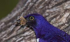 Violet-backed Starling (Cinnyricinclus leucogaster) (Ian N. White) Tags: southafrica kwazulunatal cinnyricinclusleucogaster violetbackedstarling ndumogamereserve