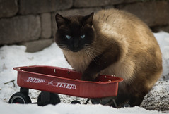 Goin' to Town in the Radio Flyer! (Bengal Thrush) Tags: winter snow cute animal yard cat wagon outdoors crosseyed backyard feline outdoor blueeyes homeless adorable kitty fluffy siamese stray creature radioflyer radioflyerwagon