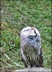 Scream (farmspeedracer) Tags: park bird nature forrest owl