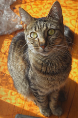 Rafiki (Nikkichick88) Tags: light pet sunlight colour green cat canon nose 50mm eyes feline close natural tabby kitty australia melbourne indoor whiskers 18 rafiki tame encounter 60d