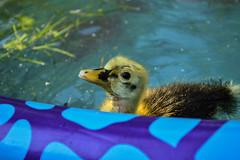 Duckling (Little Salty Dog) Tags: cute duck duckling babyduck anconaduck