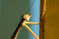Feb 04 - texture (purrly_cat) Tags: texture up mantis insect flying amazing close pray fmsphotoaday