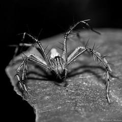 Lynx Spider (arjun.c.mohan) Tags: blackandwhite macro nature closeup insect 50mm spider nikon nikkor supermacro lynx reverselens 8legs d90 arjuncmohan