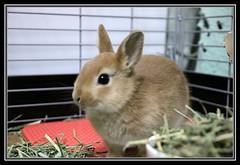 Ichigo san 43 (mensore) Tags: brown rabbit bunny san ichigo netherlanddwarf