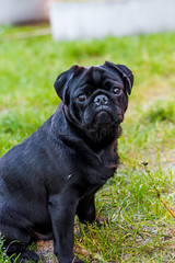 Pug I (Lyingfigure) Tags: she black bunny love beauty up shower nose for eyes with you united pug grace an her moustache filled will hour short be ready states had date pick miss wrinkles feelings snort paying