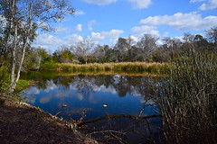 Ducks (nebulous 1) Tags: trees lake reflection clouds reeds nikon centralpark ducks bluesky huntingtonbeach waer partiallycloudy nebulous1