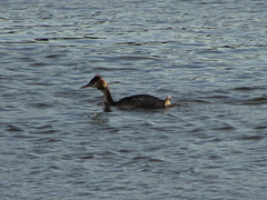 Going Against the Flow (annrushworth) Tags: water river crested tidal grebe