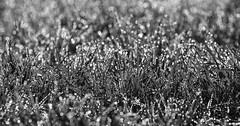 An Infinite Glint (AnyMotion) Tags: winter blackandwhite bw nature cemetery grass sunshine backlight germany drops hessen bokeh frankfurt natur dew sw gras sparkling tautropfen gegenlicht sonnenschein 2015 anymotion hauptfriedhof 7d2 glitzernd maincemetery canoneos7dmarkii