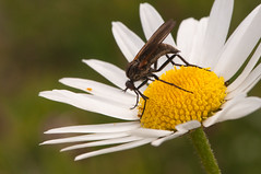 The fly and the daisy (tounesse) Tags: flower macro nature fleur insect fly daisy marguerite insecte mouche 105mm leucanthemum oxeyedaisy leucanthemumvulgare saveearth grandemarguerite