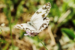 Iberian marbled white 2 (Bill Kirby1) Tags: france butterfly languedoc 2015