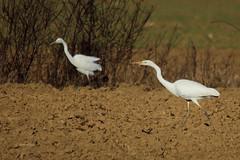 Veliki beli aplji (natalija2006) Tags: white bird heron nature alba great ardea slovenia bela egret albus velika casmerodius narava pti aplja