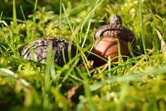 Life in Storage (simon.stoelben) Tags: macro green nature grass moss oak natur january sunny acorn makro sonnig acorns nahaufnahme mild eichel eiche samen eicheln