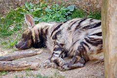 Striped hyena (yosmama151) Tags: animal mammal zoo texas fort outdoor african stripes worth predator hyena striped scavenger carnivore
