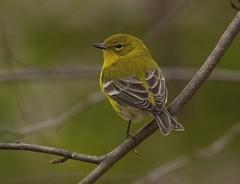Pine Warbler (AllHarts) Tags: ngc npc pinewarbler memphistn backyardbirds featherweights swiftwings dreamsilldream naturescarousel flickrsabsolutefinest