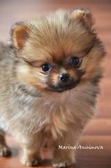 Pomeranian puppy (Marina Anisimova) Tags: santiago dog pet pets puppy toydog pomerania pomeranianpuppy