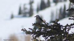12a IMG_4875 (Biglost) Tags: bird nutcracker clarks