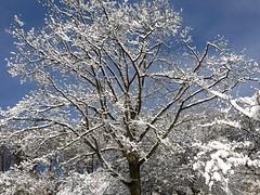 Snowy tree ((Jessica)) Tags: winter sky sun snow tree boston massachusetts newengland pw