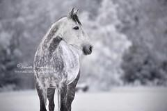 Camouflage (Hestefotograf.com) Tags: winter horses horse snow love oslo norway caballo bokeh pony camouflage cavalos ponies forever pferde dappled cavalo pferd whitehorse equine equus paard horseandgirl equinephotography equinephotographer hestefotograf