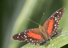 scarlet peacock (GE fotography) Tags: red white scarlet peacock 6600 anartia amatheabrown