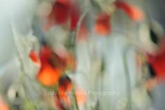 (Kemerova) Tags: flowers red flower green grass fauna photography flora nikon bokeh fineart bulgaria poppy d800 plovdiv flowersadminfave kemerova