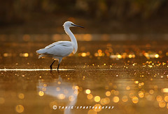2Q4A9480 (T@hir'S Photography) Tags: morning pakistan people sunlight white lake bird heron nature sunrise canon out alone image little bokeh head no images 7d getty copyspace istock egret tahir markii 400mm sialkot marala birdsof fetahers bakclit