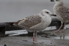 Caspian gull / Larus cachinnans / Pontische meeuw 2cy [R] 39P6 (Herman Bouman) Tags: r caspiangull laruscachinnans 2cy pontischemeeuw 39p6