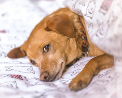 Lazy Dog (Ellen Soohoo) Tags: morning dog pine bed mutt please under canine sheets lazy button snooze 2016