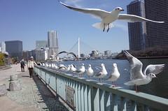 Polite Gulls ready for Take-off (seiji2012) Tags: river tokyo gull かもめ sumidariver 隅田川 tukiji ゆりかもめ カモメ 隅田川テラス