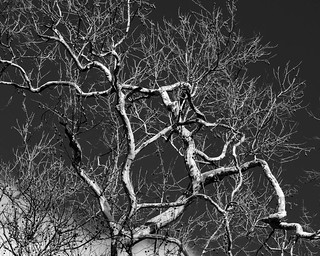 gnarly sycamore