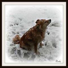 Darling (patrick.verstappen) Tags: winter portrait dog pet animal garden photo google nikon flickr image pat january rusty lovely facebook picassa gingelom ipernity pinterest ipiccy