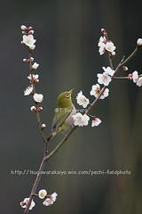 _IMG_EOS 1D X1742 (pechi-fieldtrip) Tags: nature birds japan