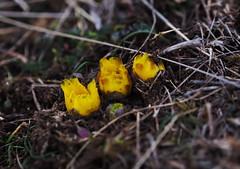 Frhlingsboten - Adonis (Sam.24) Tags: austria sterreich spring outdoor adonis frhling frhlingsblumen adonisramosa