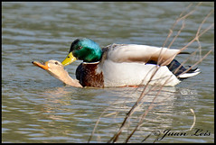 Love in the water (jleisfotos) Tags: naturaleza male nature birds female real duck wildlife aves pato cadiz animales cpula copula acuatica salvaje anade