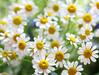 Daisies (twinkle_moon_bunny) Tags: flowers macro daisies daisy