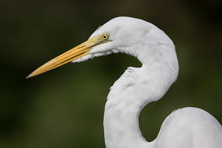 Great Egret, Orange County, FL [Explore 26 February 2016]