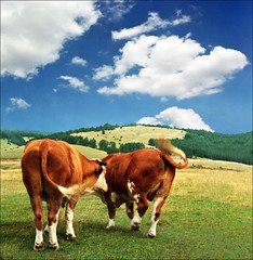 Stay in your lane, buddy..:))) (Katarina 2353) Tags: summer green film nature grass landscape nikon europe cows serbia srbija zlatibor katarinastefanovic katarina2353