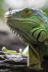 Eye of the dragon | Grüner Leguan - Iguana (Iguana iguana) (MissGarfield) Tags: iguana iguanaiguana garrobo grünerleguan bergzoohalle zoohalle canoneos7dmarkii isabellejordans 7dmii wwwzoohallede