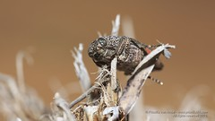 319A9698 Unknown beetle Sharjah (Priscilla van Andel (Uploading database)) Tags: buprestidae jewelbeetle buprestidaefamily
