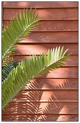 Shadows ... (junepurkiss) Tags: plant fern green shadows surrey rhswisley