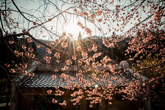 20160306-DSC_5960 (Kay's...) Tags: cherryblossom sakura   wuling wulingfarm