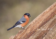 Red Bull.! (nondesigner59) Tags: red bird nature wildlife archives bullfinch eos50d nondesigner nd59 copyrightmmee cbnr