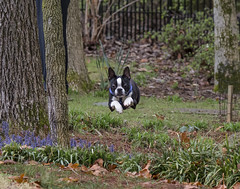 Flying Rocko (gotmyxomatosis69) Tags: dog canon puppy bostonterrier jumping action running terrier doggy pup 200mm