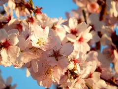 2016_021 (casirfm) Tags: pink primavera spring nikon coolpix fiori marzo 2016 casirfm