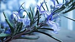 Rosemary (Brenda Boisvert) Tags: blue flower macro tree green nature leaves garden bush perfume rosemary bloom flowering shrub herb culinary pleasant scent blooming odour pleasing goodformemory
