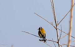 Chardonneret lgant. (Crilion43) Tags: france nature divers ciel arbres elegant nuages paysage objet oiseaux bleue msange charbonnire carduelis chardonneret