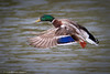 Coming in for a Landing (Shannon Tompkins) Tags: water canon outside outdoors mark kentucky ky iii 5d louisville mallard fowl extender 70200mm 2x