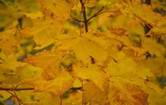 Sluderno (ccr_358) Tags: italien autumn trees italy orange plants alps fall leaves yellow foglie flora nikon october italia day dof autumncolours autunno alpi italie sdtirol altoadige southtyrol ottobre bz valvenosta 2015 vinschgau trentinoaltoadige schluderns churburg castelcoira sluderno d5000 provinciaautonomadibolzano ccr358 nikond5000 alpivenoste