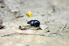 nature. (greta.capaldo) Tags: colour love nature insect insects scarab