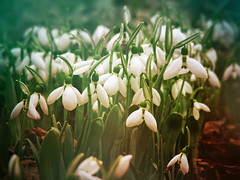 Snowdrops (R_Ivanova) Tags: flowers plant flower nature colors garden spring sony snowdrops snowdrop textured     rivanova